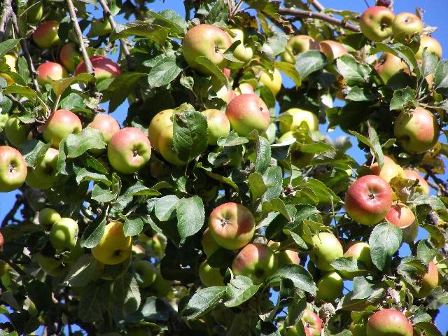 Mela Nesta - frutti su pianta