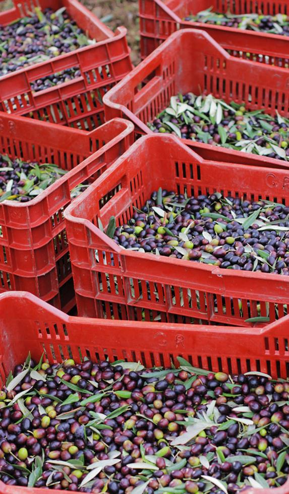 Casse per la raccolta delle olive