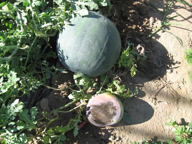 Cocomero Gigante - frutto su pianta