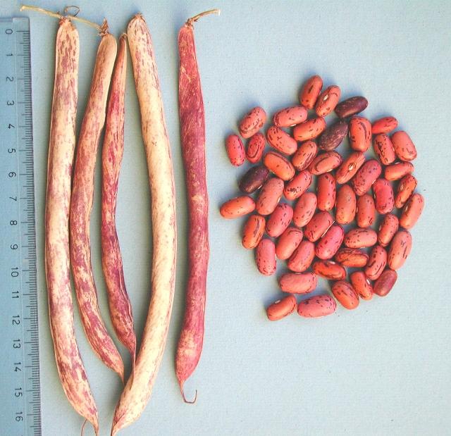 Fagiolo Rosso di Lucca - baccelli e semi