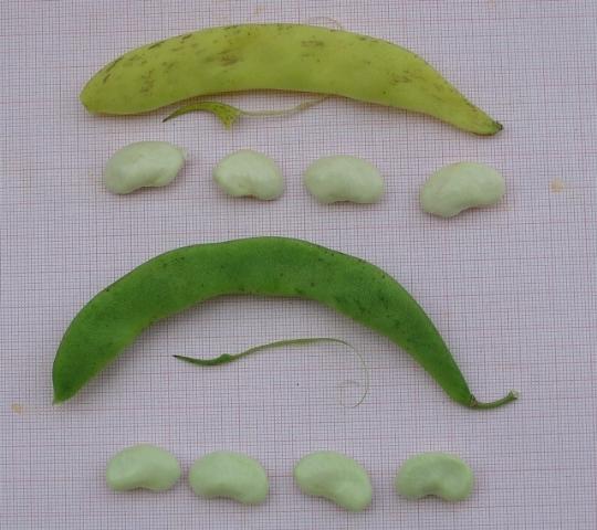Fagiolo Schiaccione di Pietrasanta - baccelli e semi