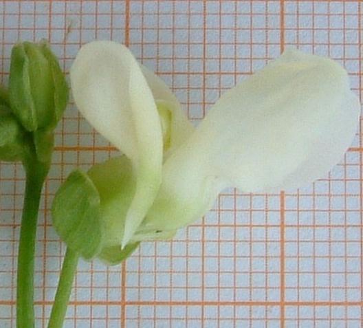 Fagiolo Schiaccione di Pietrasanta - particolare del fiore