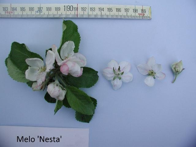 Melo Nesta - fiori