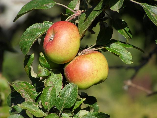 Melo Nesta - ramo con frutti