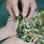 La raccolta delle olive: olivastra di Seggiano DOP