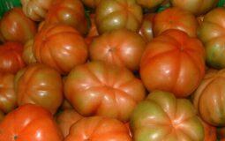 Pomodoro Canestrino di Lucca - frutti in fase di maturazione