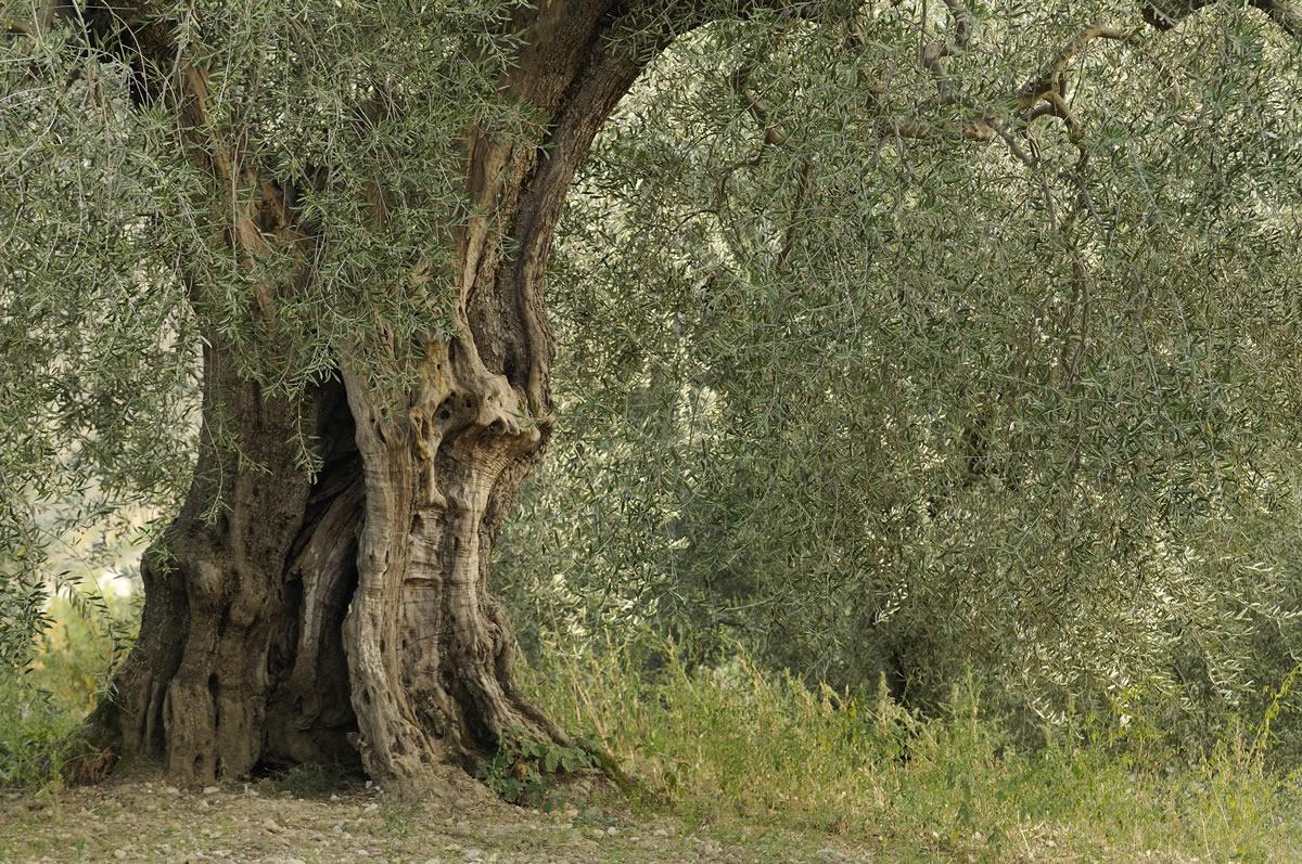 La Cultivar Olivastra Seggiano