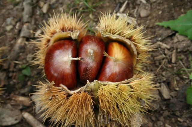 Frutti - Marrone di Monte Gusciani