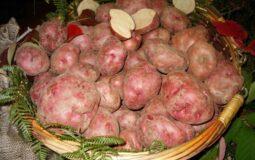 Patata rossa di Cetica