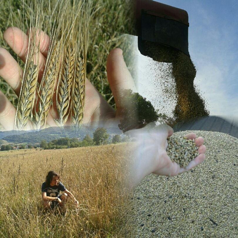 la semina dell orzo distico da malto