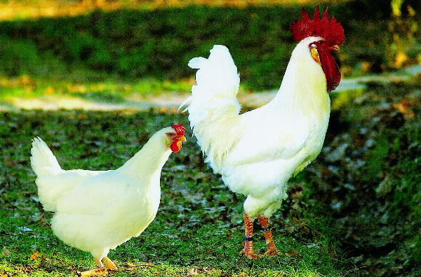 Pollo del Valdarno