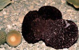 Tartufo nero pregiato della Toscana