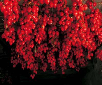 Pomodorino da inverno da appendere