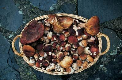 Funghi porcini toscani