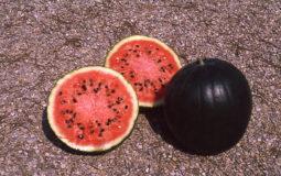 Cocomero Gigante - frutti aperti