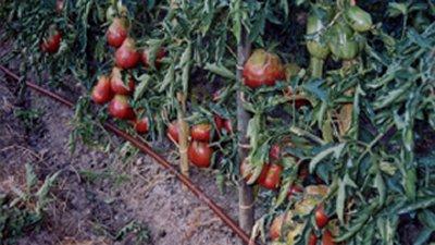 Pomodoro fragola di Albiano Minucciano