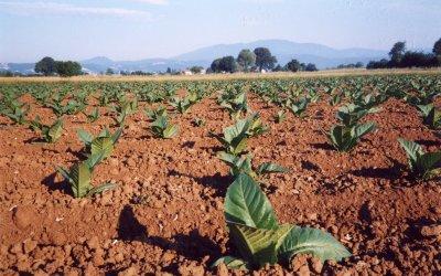 Tabacco kentucky della Valtiberina Toscana