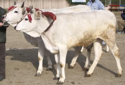 Carne di razza Calvana