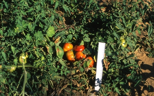 Pomodoro Quarantino ecotipo Valdarno - frutti in fase di maturazione