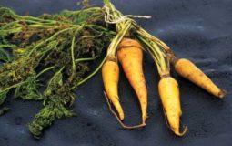 Il Pastinocello (o Pastinello, Pastinaccino, Gallinaccio) è una carota spontanea