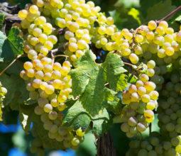 Le uve del vermentino. Foto di Walter Bilotta