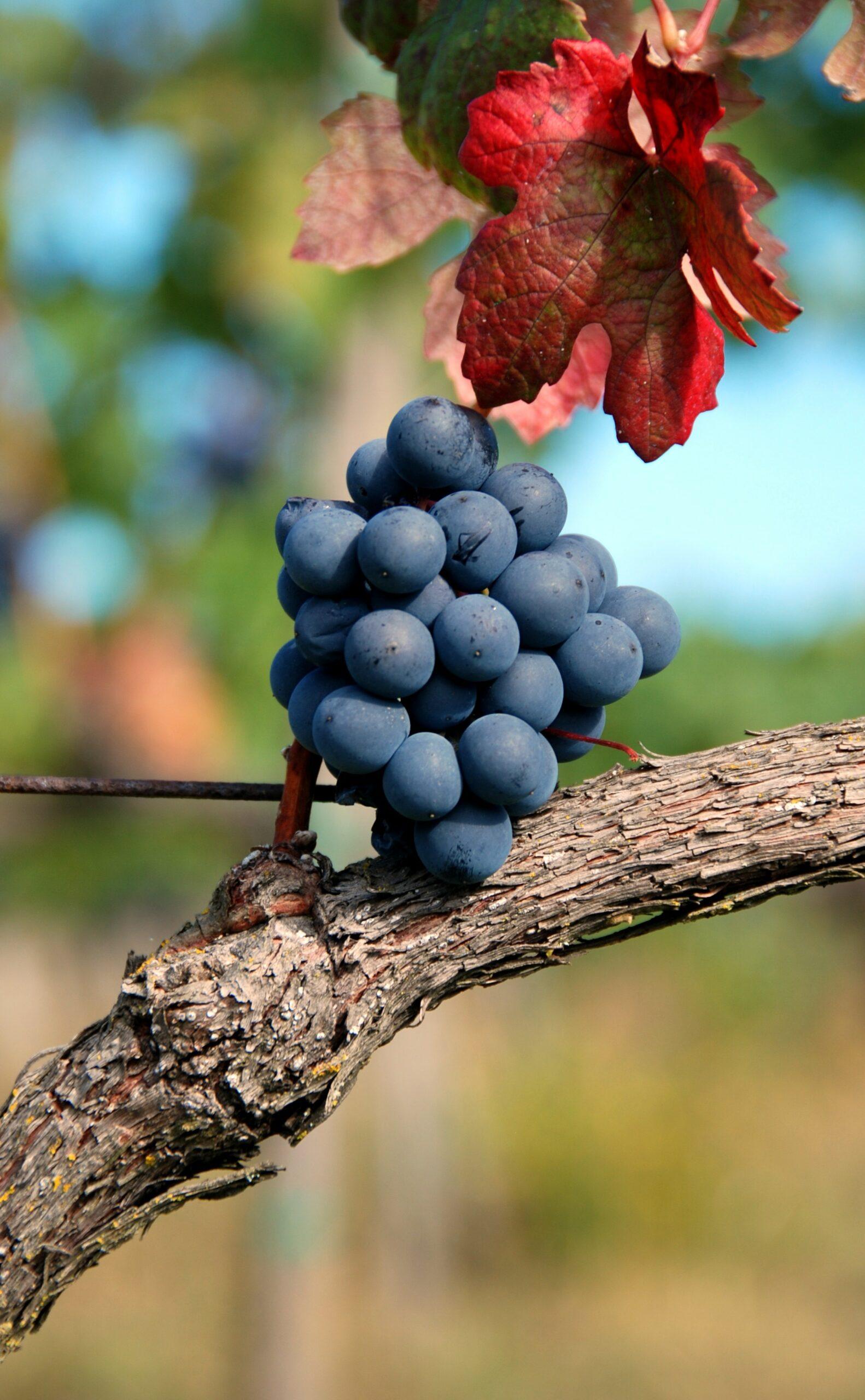 Vino Nobile di Montepulciano, Uva, Vitigno, Viticoltura, Vendemmia