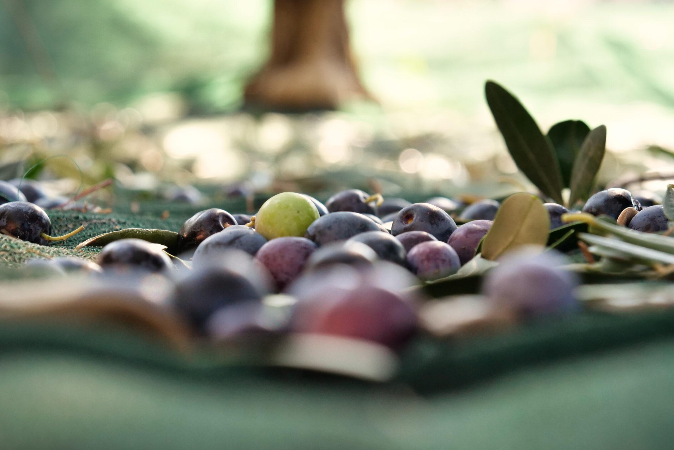 Olive, Olio, Frantoio