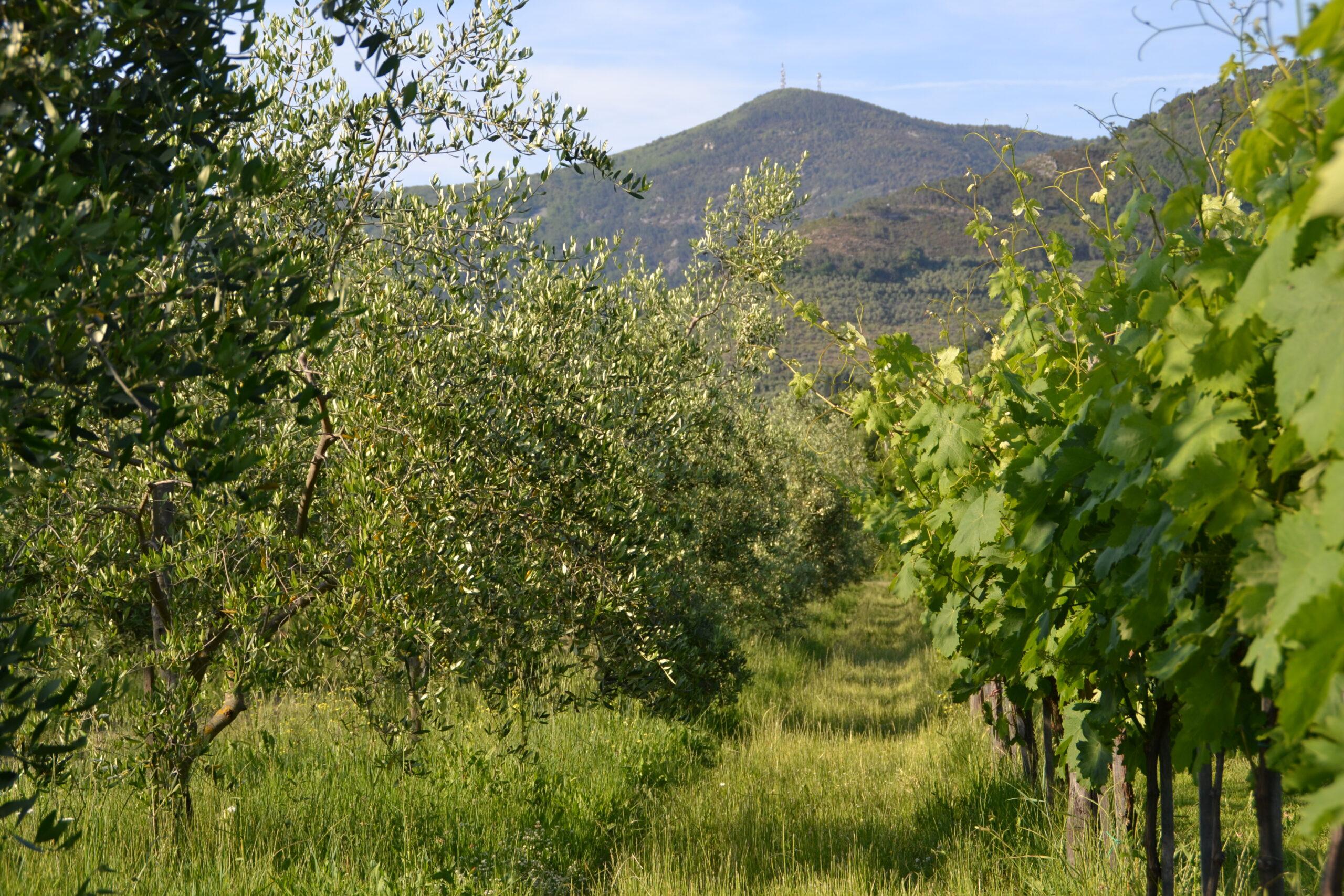 vigna e oliveto Fattoria San Vito di Calci
