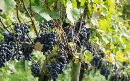 Vigneti e uva della Toscana