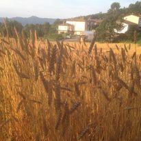 grano Verna