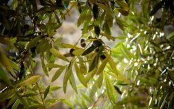 Olive. Foto di Julie-Kolibrie da Pixabay
